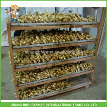 Gengibre fresco exportador de jengibre chino 150g hasta 7kg / 8kg Caja de PVC