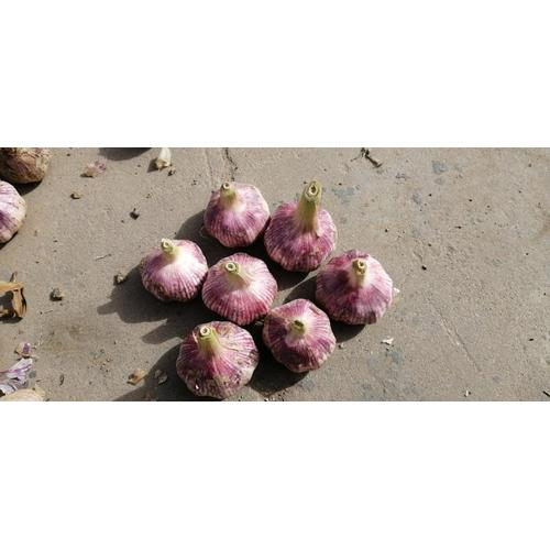 Lila Knoblauch TAIKONG Knoblauch