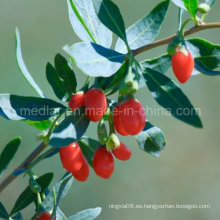 Medlar Wholesale Goji Berry Wolfberry