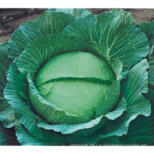HC06 Уди теплостойкие,Сплюснутостью зеленый гибрид F1 капусты семена