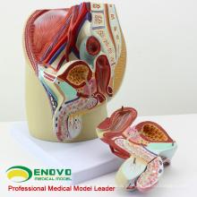 VERKAUF 12439 Lebensgroße männliche Abschnitt Anatomisches Modell 4 Teile Anatomie