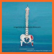 Modelo de coluna vertebral humano com músculos pintados à mão com cabeça de fêmur