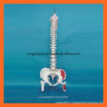 Modèle scientifique de la colonne vertébrale des muscles musculés à la main avec têtes de fémur