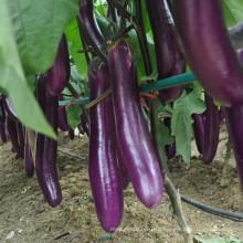 HE18 Jangli длинный фиолетовый красный гибридные семена баклажанов для посадки