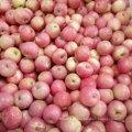 Alta qualidade de fresco Red Qinguan Apple