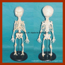 Anatomie Säuglingsskelett Modell