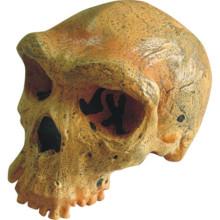 Rhodes West Human Skull Gehirn Modell für medizinische Forschung