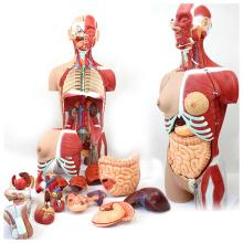 TORSO05 (12016) Medical Science 85 cm 29 Peças Humano Modelo Traseiro Completo com Metade Do Corpo Músculos & Órgãos