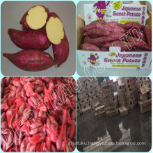 FRESH SWEET POTATOES/ JAPANESE FRESH SWEET POTATO