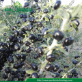 100% natural Organic dried black wolf berry