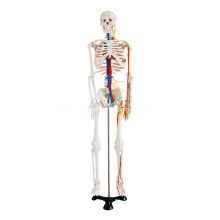 85cm Skelett mit Nerven und Blutgefäßen