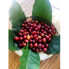 Hot Sale Arabica Coffee Beans