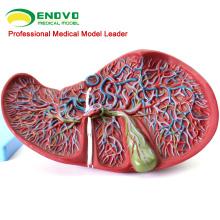 VISCERA07 (12544) Medical Science Modelo do Fígado Humano para o Ensino