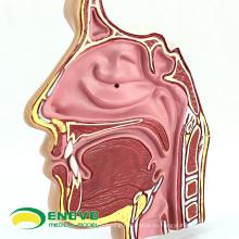 THROAT04-1(12509) Анатомия носа, носовой полости анатомические модели