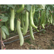 HE05 Sexiang sementes de berinjela híbrida verde longo