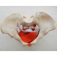 ISO Modelo da pelve feminina com músculos pélvicos e órgãos pélvicos, modelo de órgãos genitais femininos