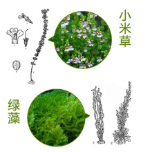 100% Natural Eyebright Herb Extract 10: 1