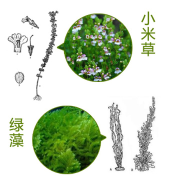 100% Natural Eyebright Herb Extrato 10: 1