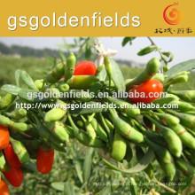 la taille à propos de QIYU-1 a des plants de baies de goji de haute production