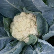 RCF37 Liangbai f1 híbrido semillas de coliflor china para la venta