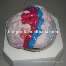Modèle de cortex cérébral humain ISO, modèle d'anatomie cérébrale