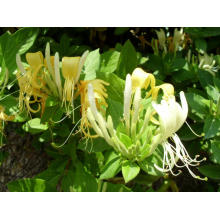 Honeysuckle bloem extract poeder