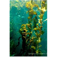 Extracto de algas 100% soluble de algas marinas