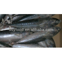 Fuzhou dingshengyuan trade co.,ltd frozen bonito fish whole round