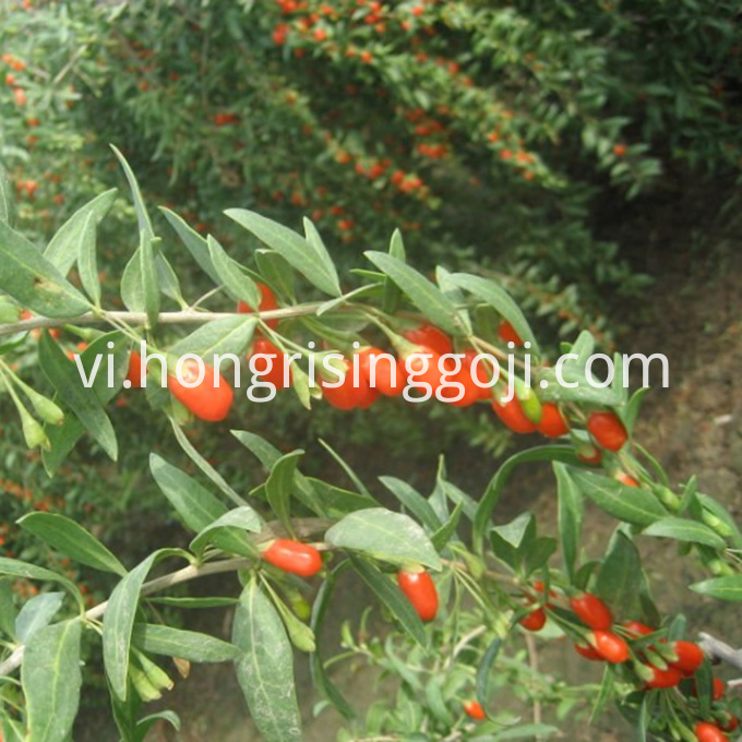 Fresh goji berry