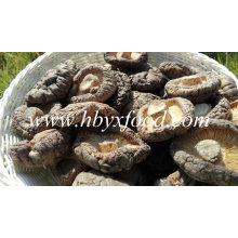Qualidade Cogumelo Cogumelo Shiitake Suave Fresco para Venda