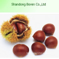 High Quanlity Chestnut New Crop Chestnut Fresh Chestnut