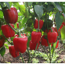 Semillas HSP08 Dangzo rojo F1 híbrido de campana / pimiento en semillas de hortalizas