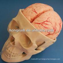 Modelo de crânio ISO com 8 partes da artéria cerebral, modelo de anatomia do crânio