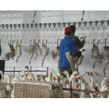 Duck and Goose Slaughte Equipment for Poultry Slaughter House