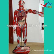 Modelo de Musculatura Humana ISO 170 cm com órgãos internos, modelo de músculos anatômicos