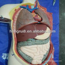 85 см (20 частей) Анатомическая анатомия человека Двойная половая сука и мужчины 85 см Торс