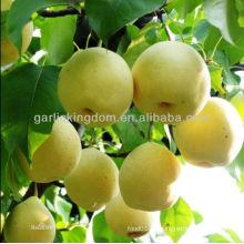 De buena calidad Fresca pera de oro / pera amarilla en venta