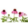 Echinacea Purpurea Extract Powder