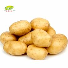 Fresh Holland Potato