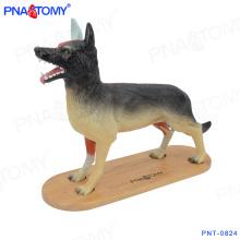 PNT-0824 Novo modelo animal inteiro modelo anatômico do cão inteiro