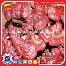 Superfood medicina Ganoderma lucidum vermelho reishi cogumelo extrato