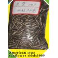 Semillas de girasol chino 5009 para el consumo humano