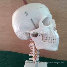 Marqueur de la taille de la vie ISO avec modèle de la colonne cervicale, modèle de crâne anatomique