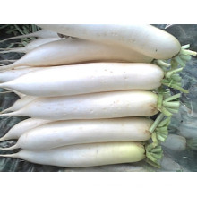 Boa qualidade / preço competitivo / New Crop / Fresh Radish Branco (600-800g)
