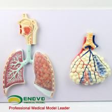 LUNG06 (12503) Modèle de la section du système respiratoire humain, modèles d'anatomie> Respiratoire