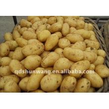 chinese fresh potato 2011 autumn