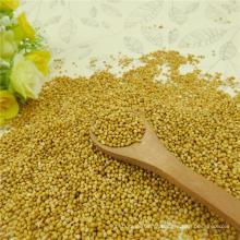8311 type Yellow Millet in husk