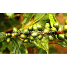 Extracto de grano de café verde natural (Coffea Arabica L), ácido clorogénico 30%, 45%, 50%, 60%
