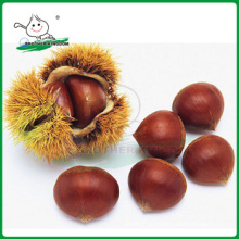 Venta al por mayor dandong castaña / Nueva cosecha Tai Monte castaña / Castaña de origen China