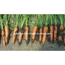 2015 Carrot